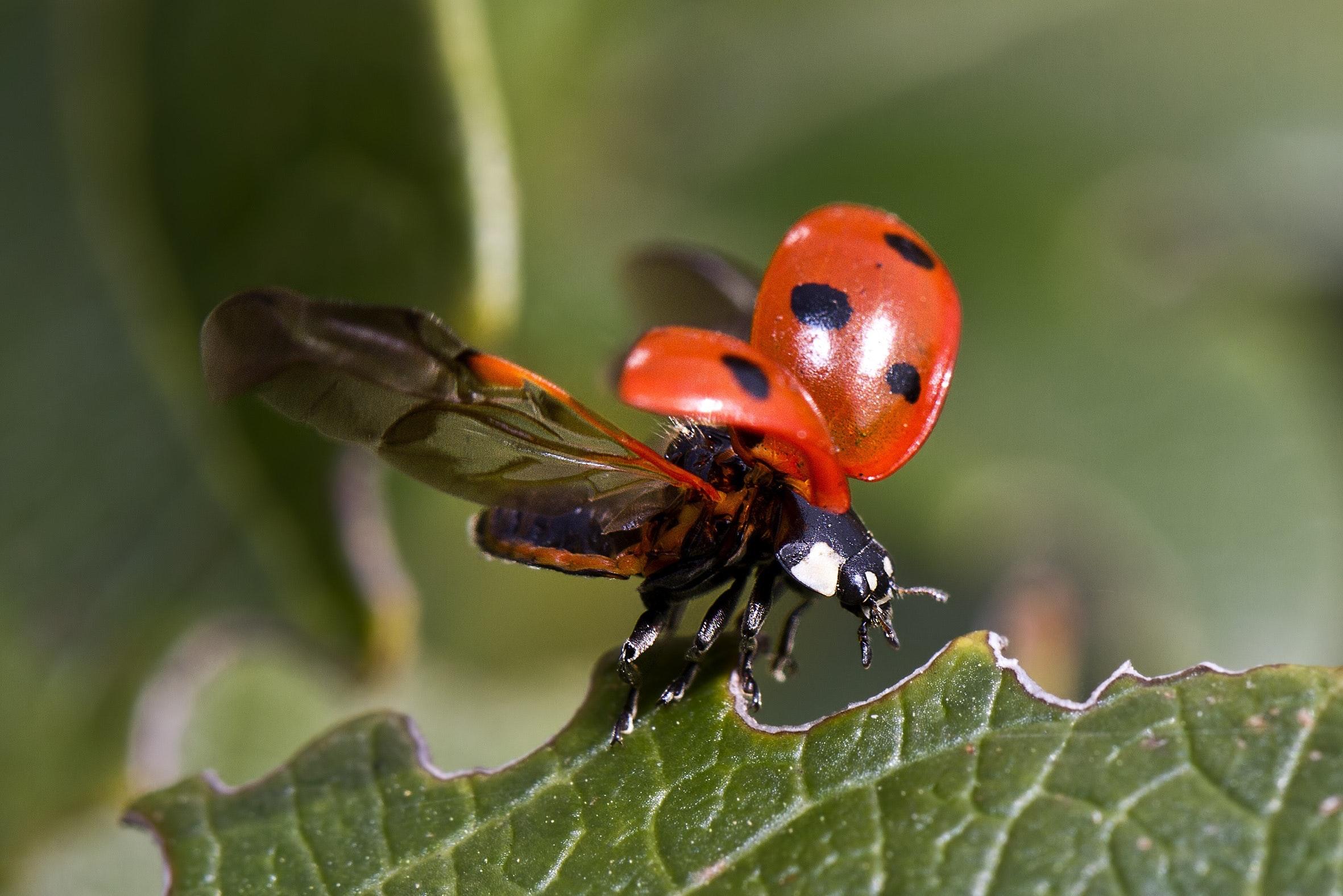 beetle-insect-ladybird-36485