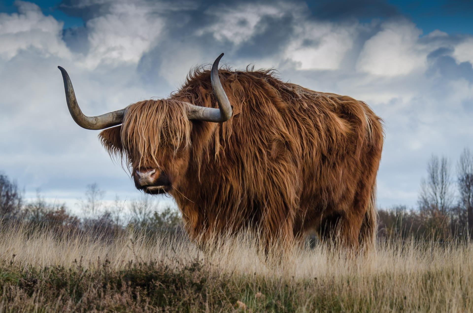 bull-landscape-nature-mammal-144234