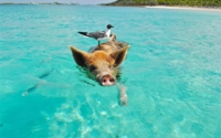 staniel-cay-swimming-pig-seagull-fish-66258