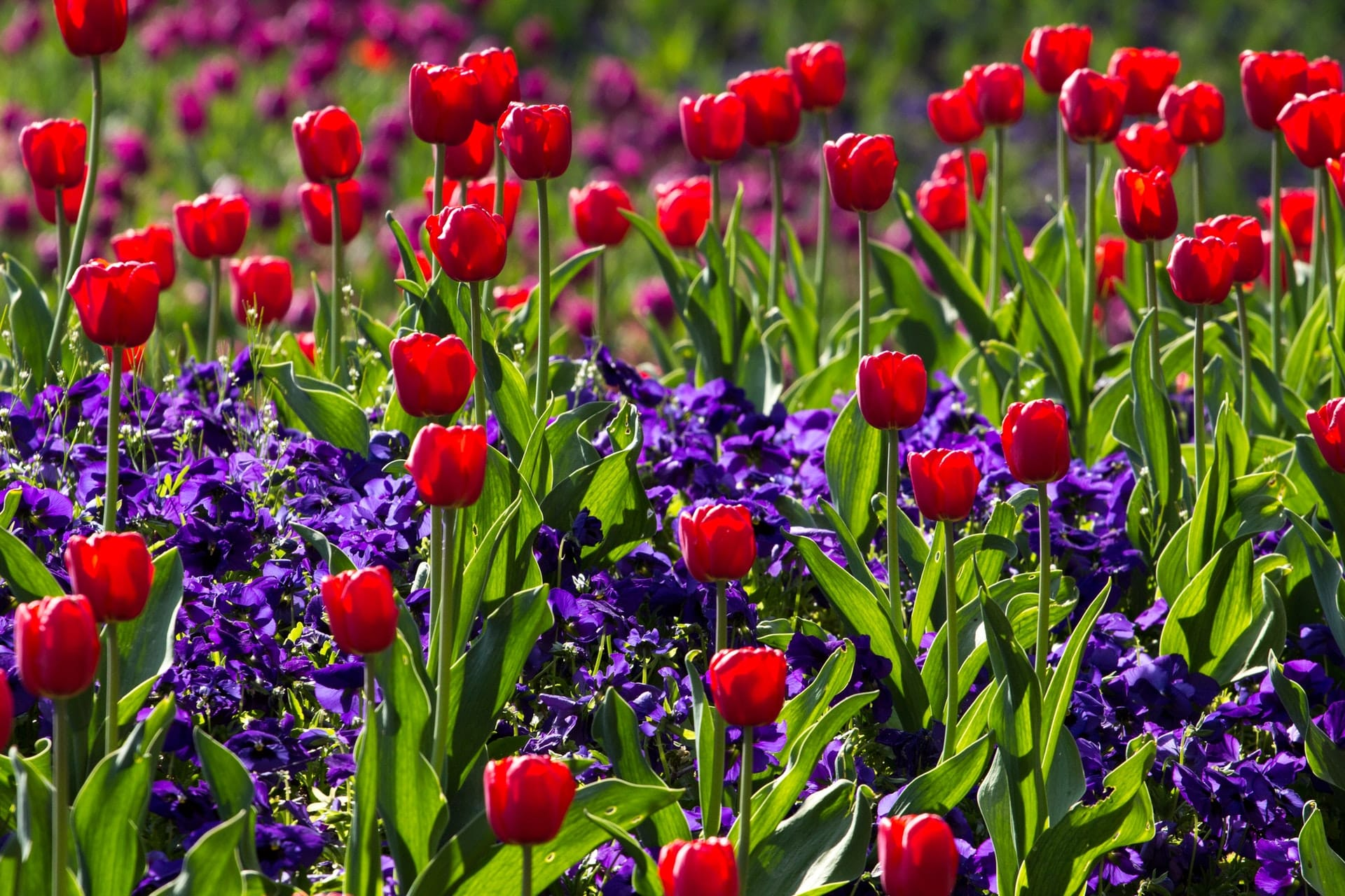 tulips-spring-light-colorful